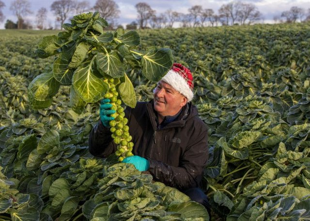 Jim Kirk in one of his many fields in West Lothian full of Brussel Sprouts being harvested for Christmas plates all over the UK. Picture: SWNS