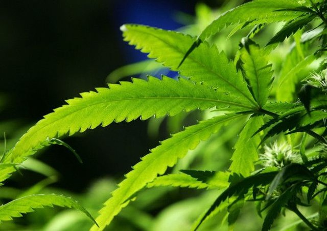Group Looks To Time When Dope Is Legal In Jamaica The Scotsman