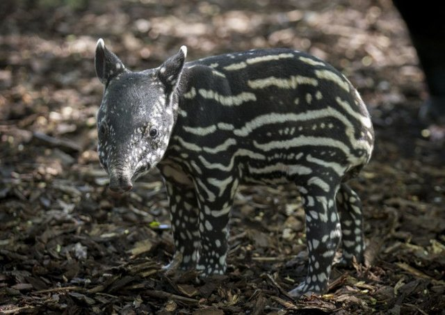 The baby Malayan tapir was born on Thursday. Picture: Edinburgh Zoo