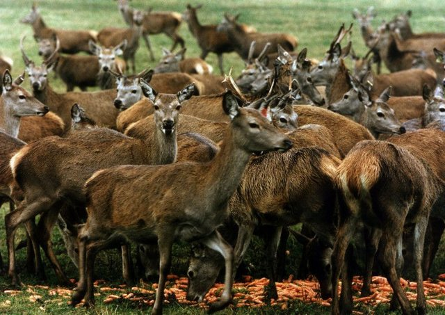 Increasing numbers are entering the deer farming sector. Picture: Ian Rutherford/TSPL