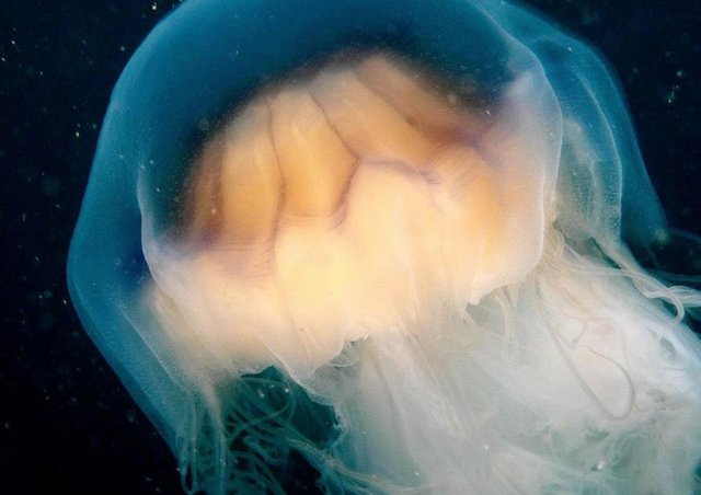 The Lion's Mane jellyfish has been reported in Scotland. Picture: PA/Greenpeace/Gavin Newman.