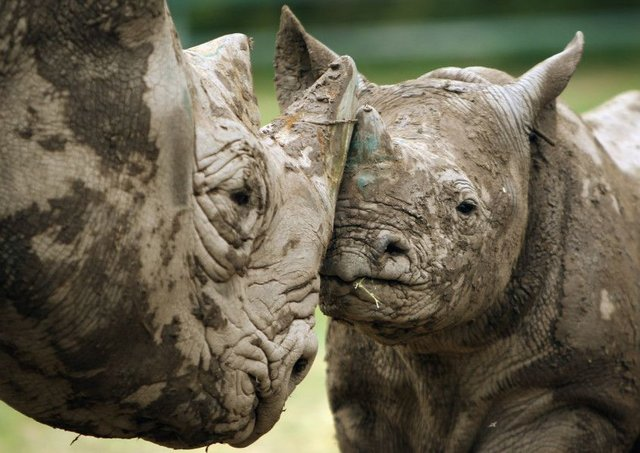 Black rhinos are more likely to be seen in wildlife parks than in the wild, thanks to illegal hunting. Picture: Getty Images