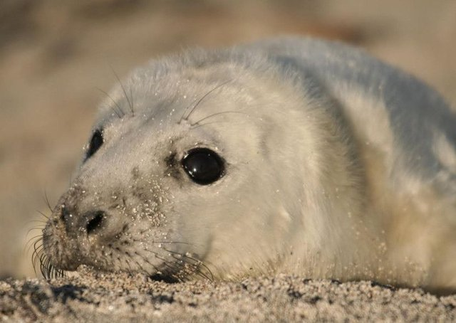 There are around 8,000 seals on the tiny island at this time of year. Picture: David Steel