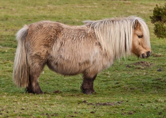 Stock image of a Shetland pony. Picture: Creative Commons
