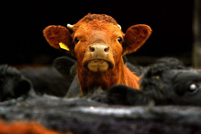 A case of BSE commonly known as Mad Cow Disease has been confirmed. Stock image. Picture: PA