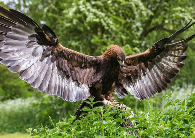 Experts at the University of Edinburgh, working with the Wellcome Sanger Institute near Cambridge, announced that they have completed a project to sequence the golden eagle genome  the first time it has been done for the species.