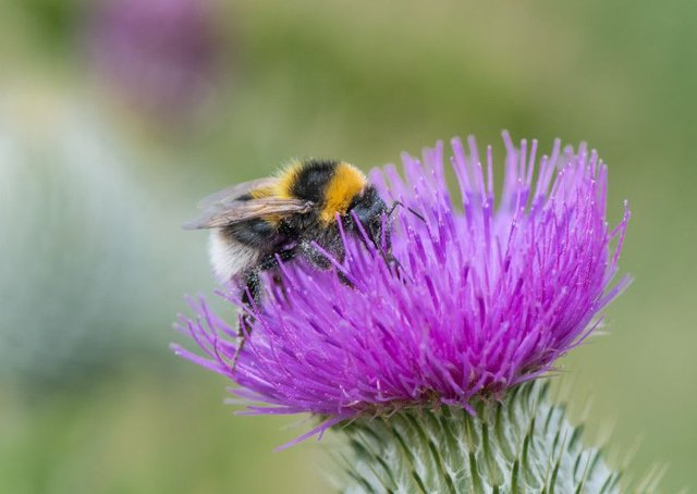 The garden bumblebee was among 13 of the UK's 24 bumblebee species that declined in 2018