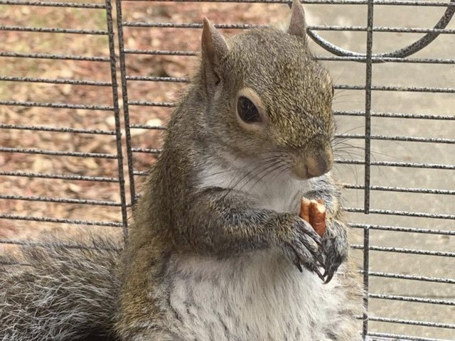 The squirrel, which the man is reported to have named Deeznutz, in a cage in Alabama.