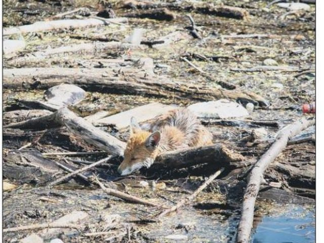 The fox was rescued from debris in the Water of Leith in July