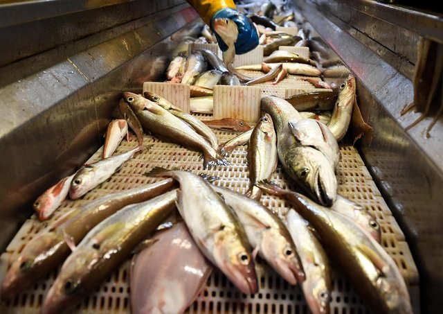 Fish caught out of the North Sea. Picture: J Mitchell/Getty Images