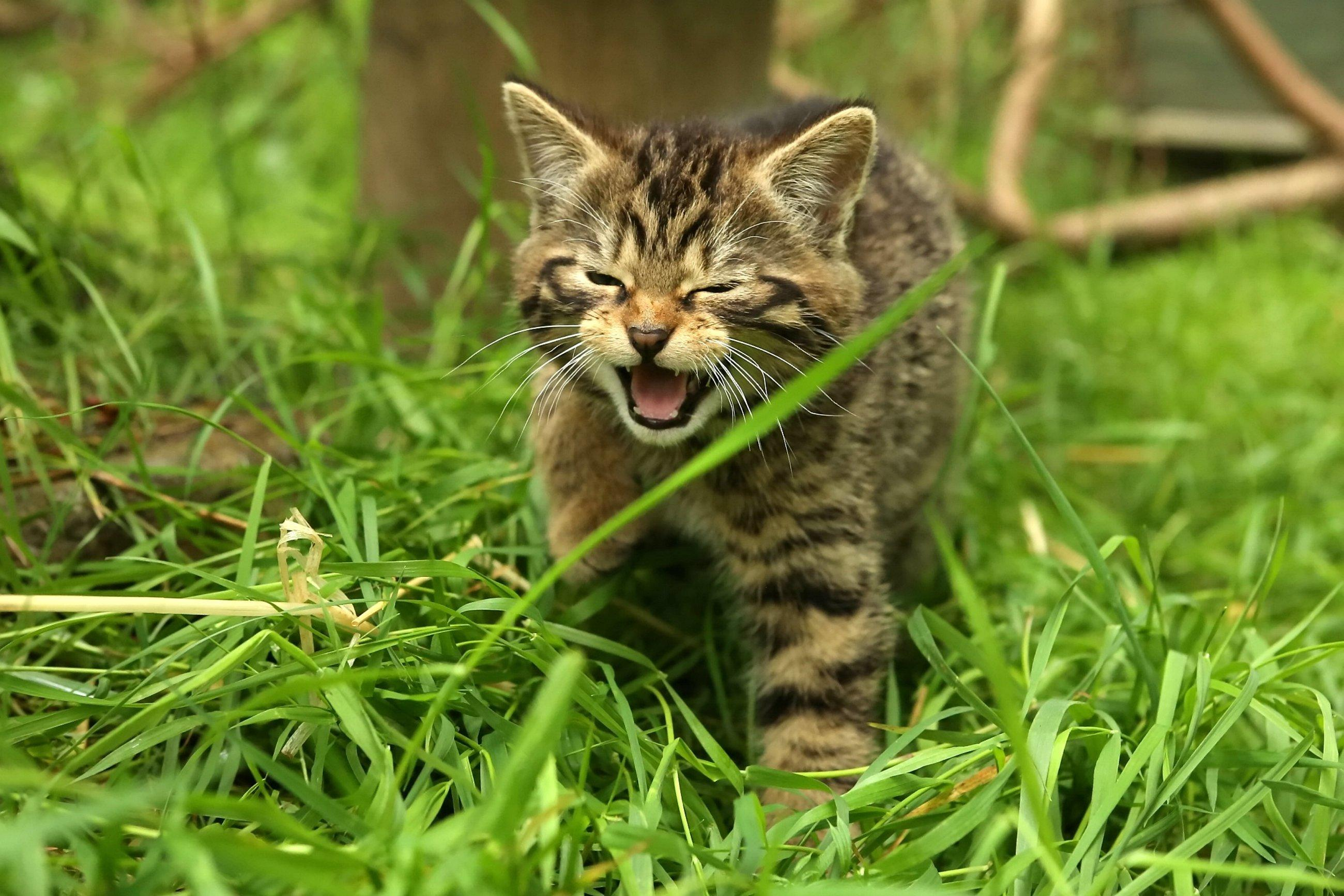 English-born Scottish wildcat moves north in bid to save species