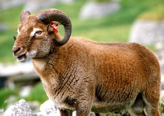 Sheep on the island of St Kilda