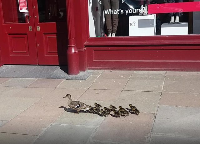 A mother duck and her ducklings were seen waddling down George Street in Edinburgh on Wednesday (May 13)
