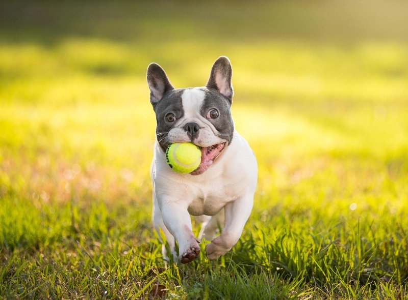 The French Bulldog is the UK's second most popular pedigree dog breed and commands a hefty average price of £2,389.