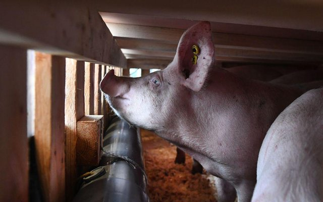 New Swine Flu New Strain Of Flu Found In Pigs In China Could Affect Humans And Become A Pandemic The Scotsman