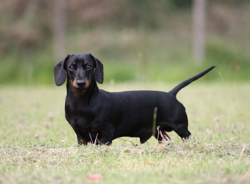 The third most expensive pup is the cute Miniature Dachshund, with an average price tag of £2,537.