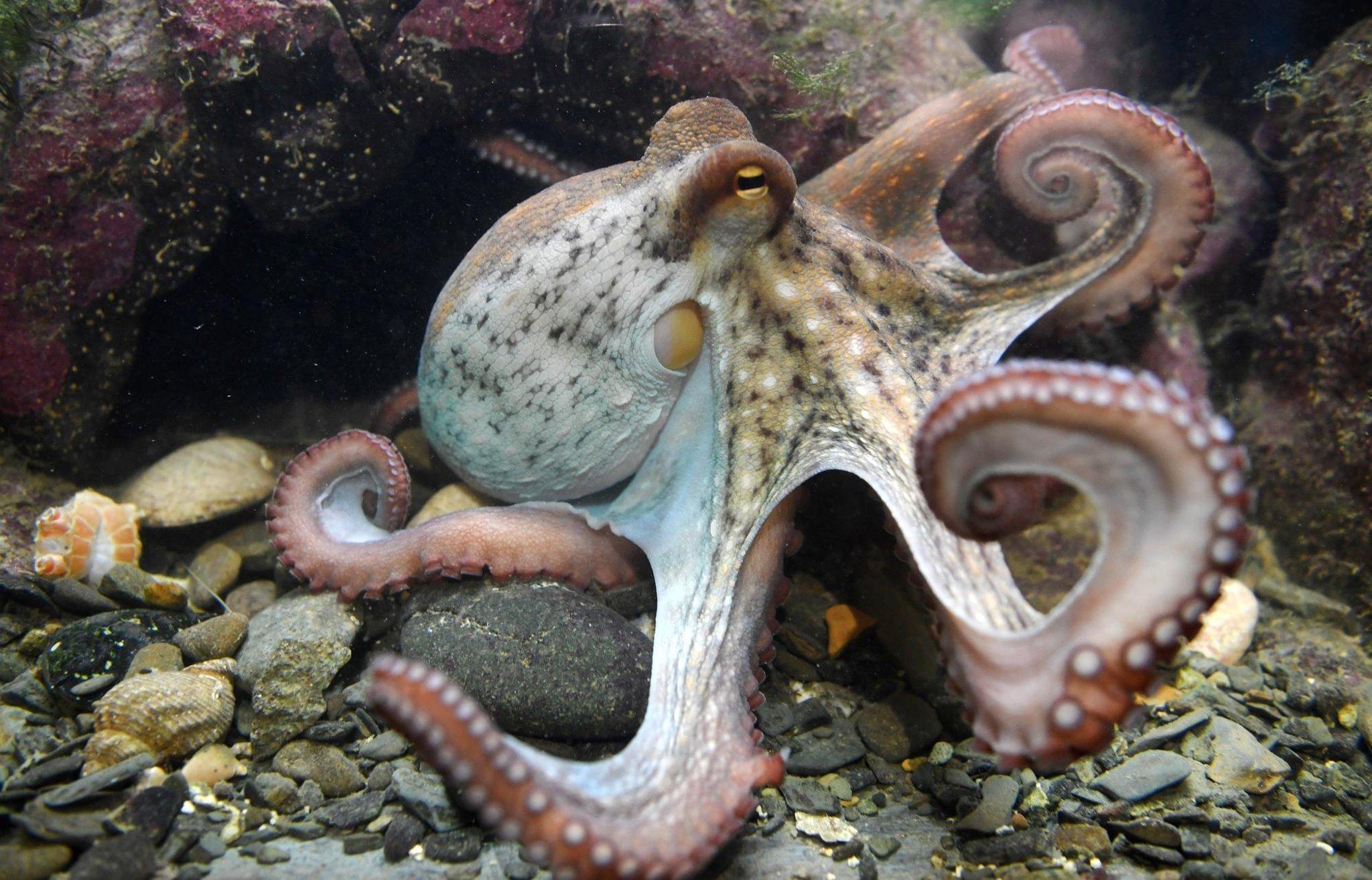 Peternakan gurita tidak bermoral, mengingat semua yang kita ketahui tentang hewan yang sangat cerdas dan penyendiri ini – Philip Lymbery