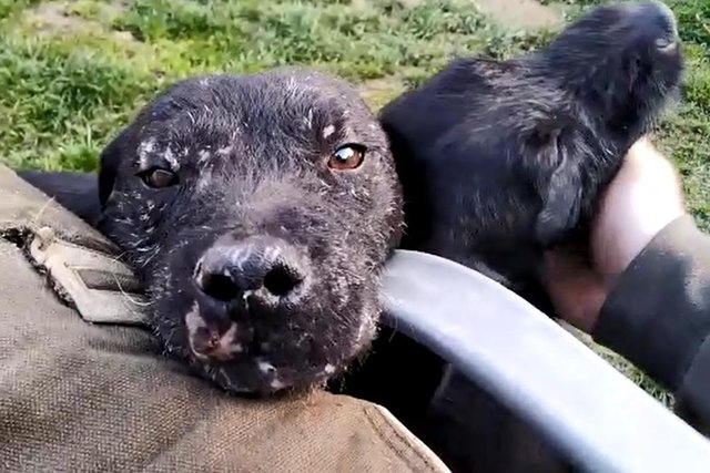 Evidence of scarring on the face of one of the dogs. Pic: Supplied by SSPCA