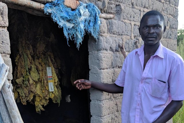 A smallholder tobacco farmer in Kabwe, Zambia, in 2019 - it's pointed out that such farmers are not compensated for, say, building curing sheds. Picture: Gail Hurley.