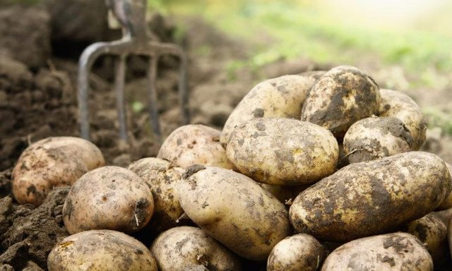 Seed potatoes are contested