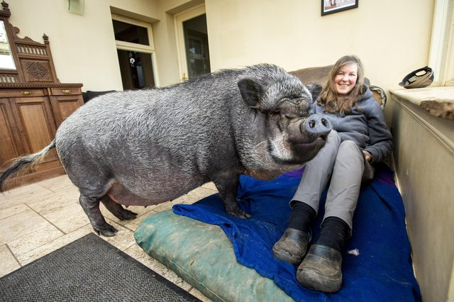 The giant porker loves lying around in the house (Photo: Katielee Arrowsmith).