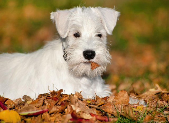How much do you know about the adorable Miniature Schnauzer?