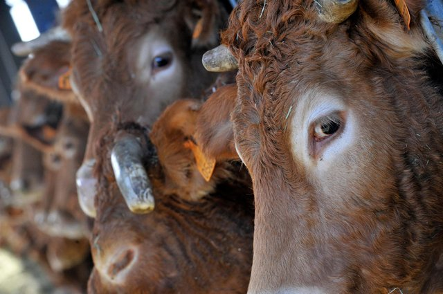The Limousin breed is significant in beef production