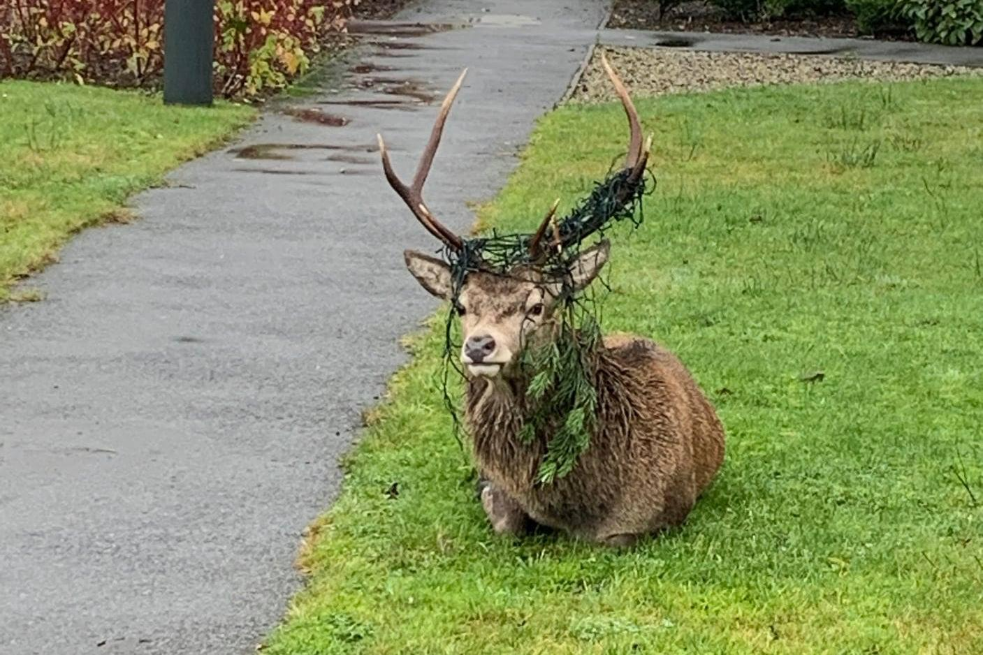 Stag dubbed 'Festive Bob' gets antlers tangled in festive lights after 'headbutting' Scottish Christmas tree