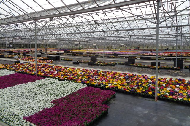Millions of pounds worth of bulbs, bedding plants, cut flowers and pot plants like these at A&G Young nursery in Perth will have to be scrapped due to the Covid-19 shutdown.