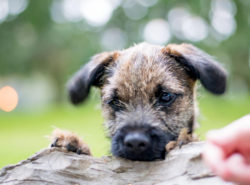 While Border Terriers are now mainly beloved family pets, they were originally bred to flush out and kill foxes, as well as hunting vermin, badgers and even otters.