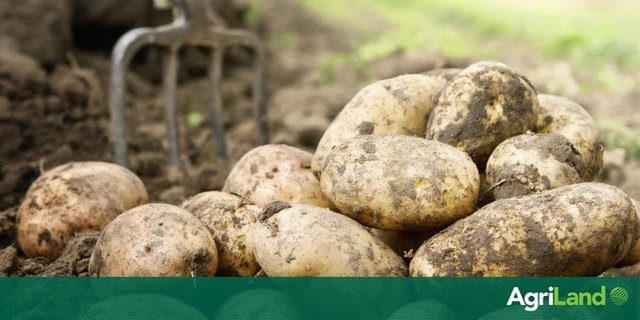Potatoes on the menu