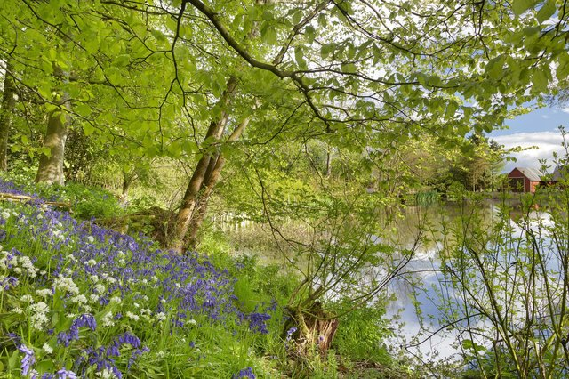 Bluebells & wild garlic under beeches in woodland, pond and outbuildings beyond