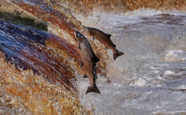 Millions of salmon carcasses are burned, dumped and destroyed every year.