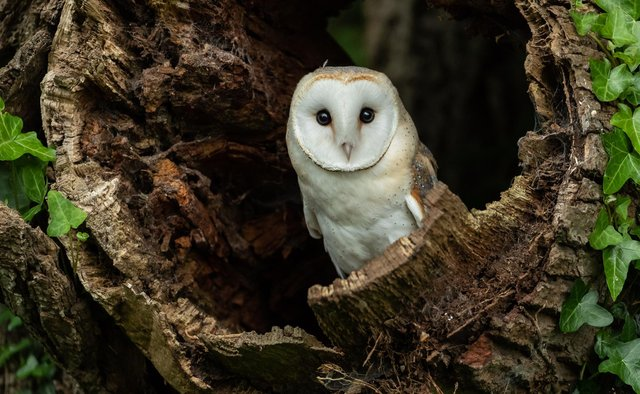 Barn owls have been doing well in some Perthshire glans, but the species is at the northernmost extent of his range in Scotland and is vulnerable during extreme weather conditions
