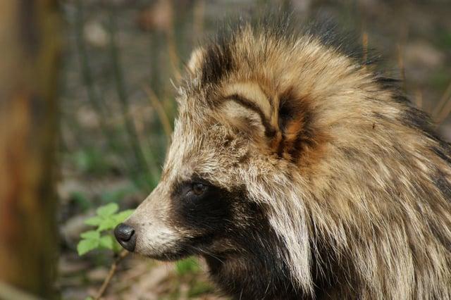 The raccoon dog could threaten biodiversity in the UK (Photo: RenisBastelChaOase, Pixabay).