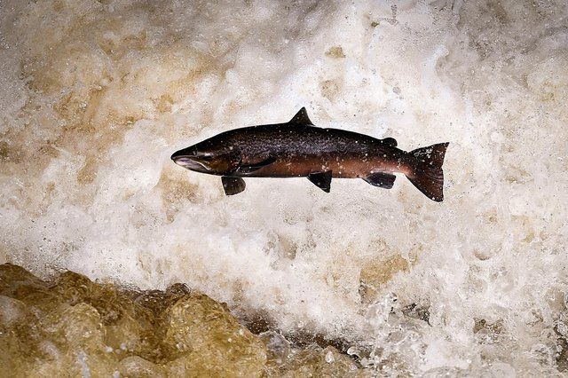 new studies will attempt to find out what's happening to Scotland's iconic wild salmon, which are disappearing at an alarming rate
