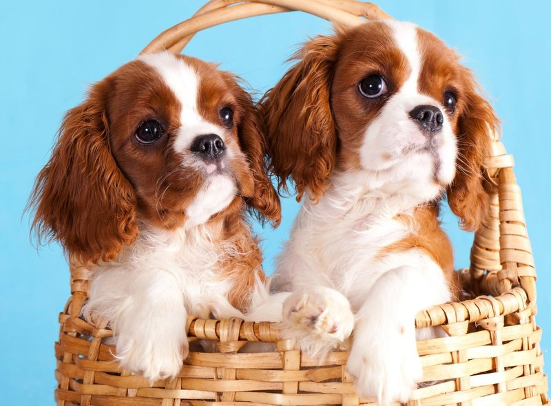 The Cavalier King Charles Spaniel is the fifth most expensive dog in the UK, with a puppy costing an average of £2,458.