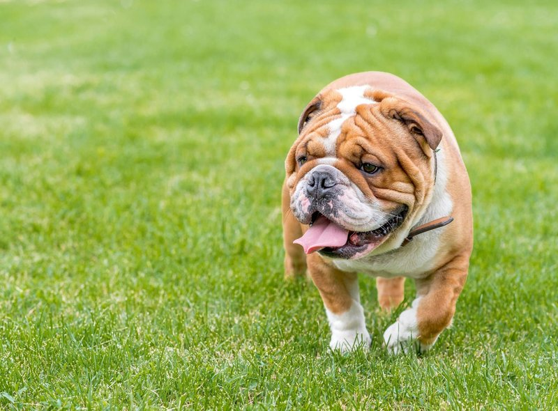 The English Bulldog is the UK's most expensive dog, with puppies selling for an average of £2,995.