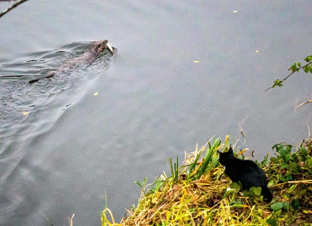 A cat watches an otter with a fish on the bank of the River Don near Aberdeen, Scotland.