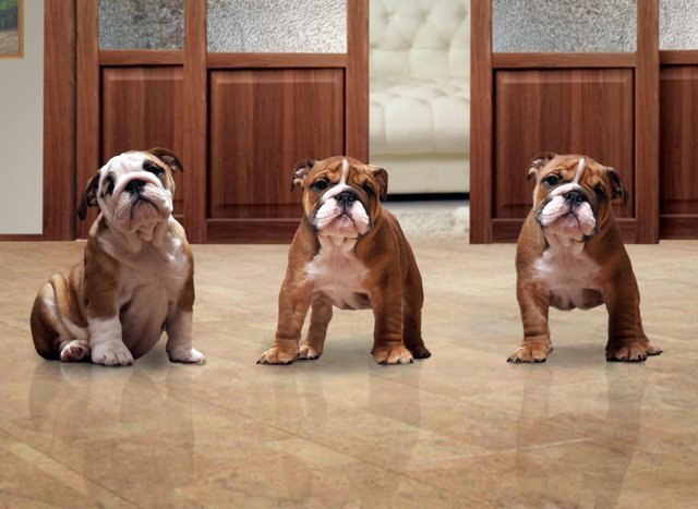 These are the best breeds of dog for those living in a flat or apartment.
