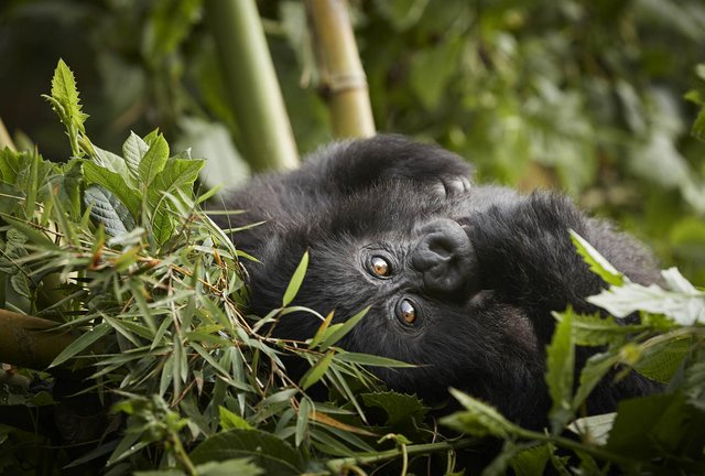 There are anecdotal reports of a baby boom among Rwanda's endangered mountain gorillas.