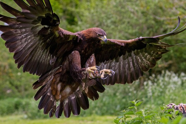 Golden eagle.
