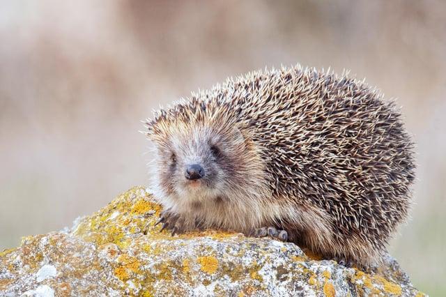 Hedgehogs hibernate all winter