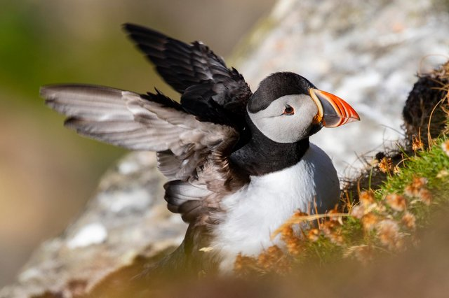 Puffins can be seen in the Firth of Forth this May. Picture: Charlie Phillips