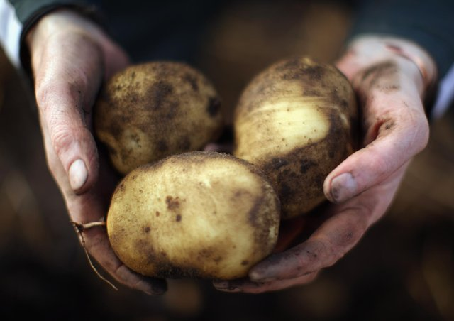 Almost a quarter of the entire British potato crop still remains unmoved