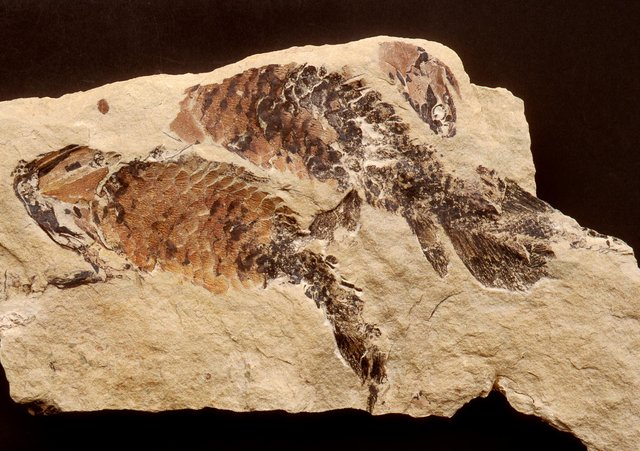 The Upper Devonian fish Holoptychius from Dura Den, Fife is among Scotland's fossil collection which has been collated for the first time. © Perth Museum & Art Gallery, Perth & Kinross Council.