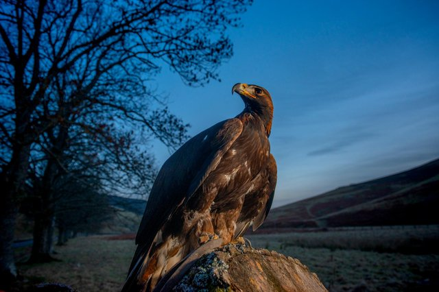 A new golden eagle information point is opening in the Scottish Borders, where a ground-breaking translocation projects is working to increase the local population of Scotland's national bird. Photo: Phil Wilkinson