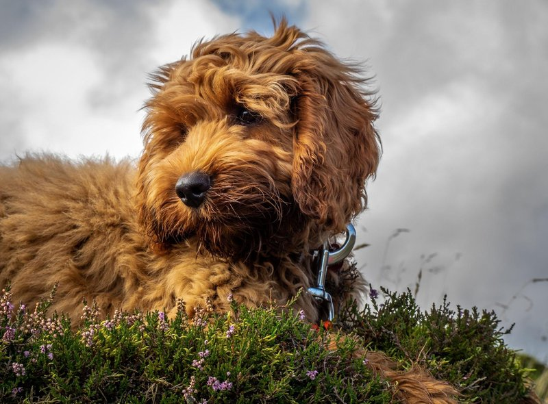 The trendy and popular Cockapoo - a dog crossbred from a Cocker Spaniel and a Poodle - is next most expensive, with an average price tag of £2,471.