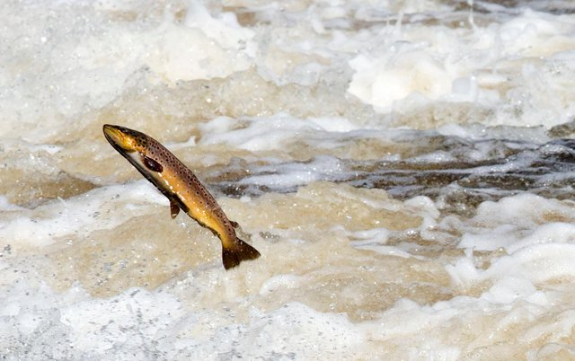 Salmon are believed to have slipped through the net of the figures recorded by HMRC