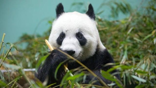 Tian Tian in her enclosure at Edinburgh Zoo